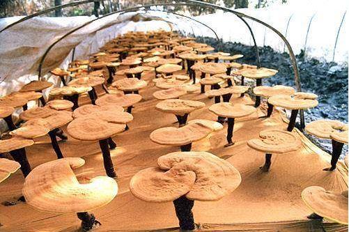 Nấm linh chi tai vàng Hàn Quốc
