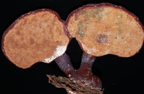 Nấm linh chi nấm mốc trên bề mặt xuất hiện vẩy mốc màu xanh hoặc trắng