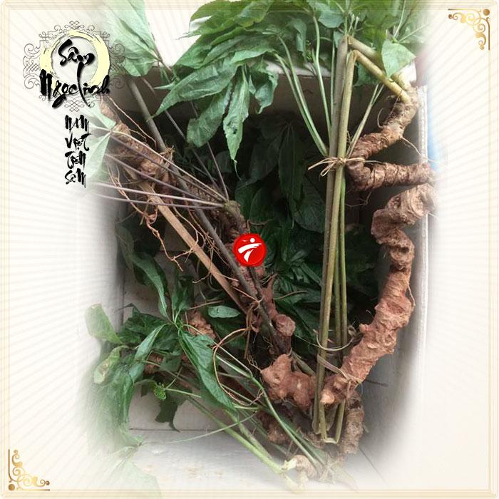 sam-ngoc-linh-nui-45-nam-tuoi-loai-3-den-4-cu-1-lang_0