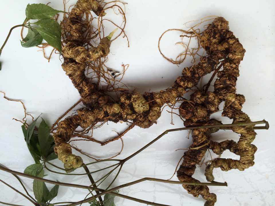 Sâm Ngọc Linh - vị thuốc quý trong đông y dùng trị bệnh