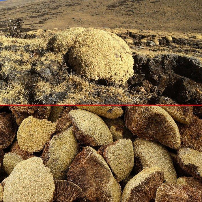 mặt nấm trước và sau của nấm tuyết