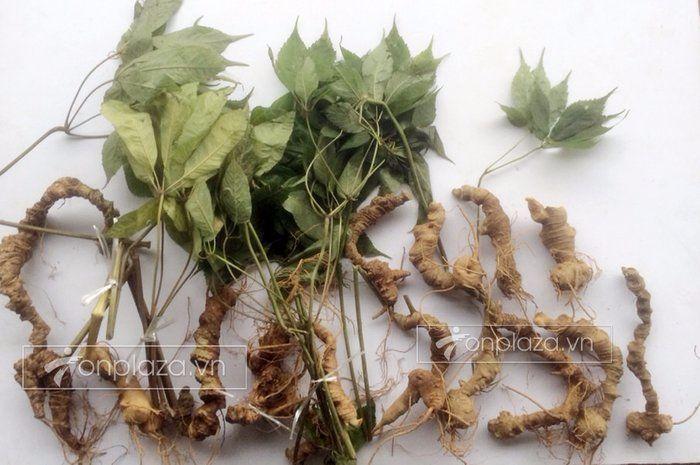 rễ sâm ngọc linh tự nhiên và sâm ngọc linh trồng