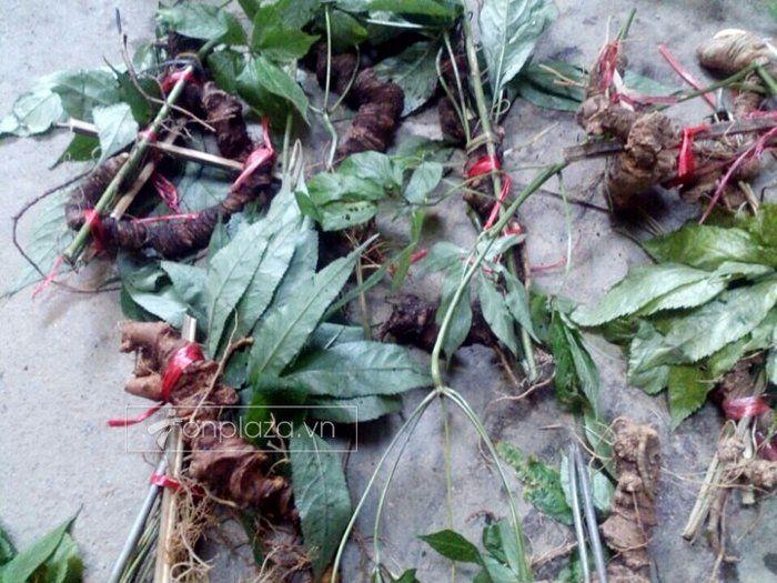 Lá và củ sâm núi tự nhiên tại Quảng nam