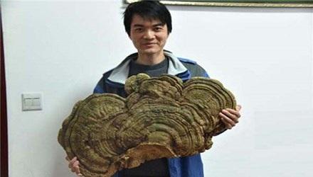 Tìm thấy nấm linh chi 100 năm tuổi