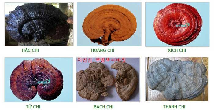 7 điều bạn nên biết khi sử dụng nấm linh chi