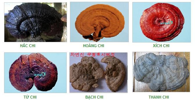 Thành phần dược liệu của loại nấm linh chi nào là tốt nhất