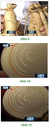 Nhận biết tuổi sâm tươi Hàn Quốc bằng rễ sâm hay nhánh sâm 1