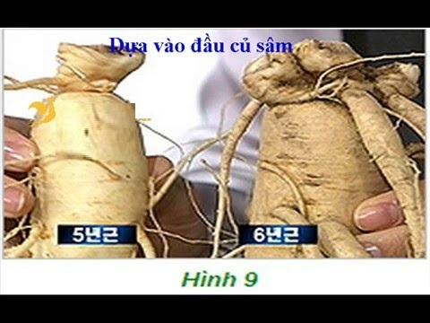 Nhận biết tuổi sâm tươi Hàn Quốc bằng rễ sâm hay nhánh sâm 2