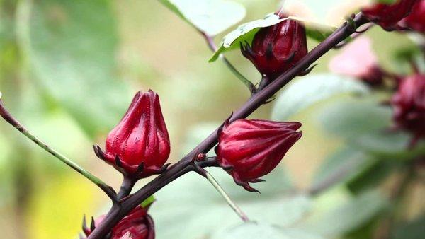 Cách làm rượu atiso đỏ thơm ngon bổ dưỡng 1