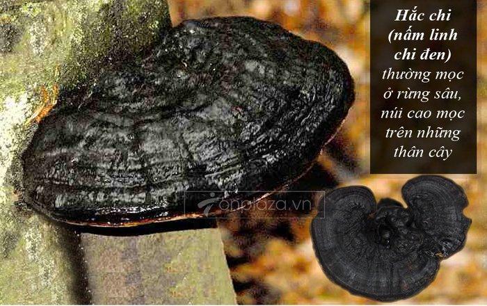 Nấm rừng hắc linh chi (loại to) L043 3