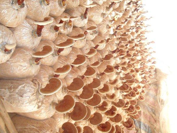dùng nấm linh chi giúp cơ thể chịu đựng môi trường xấu tốt hơn