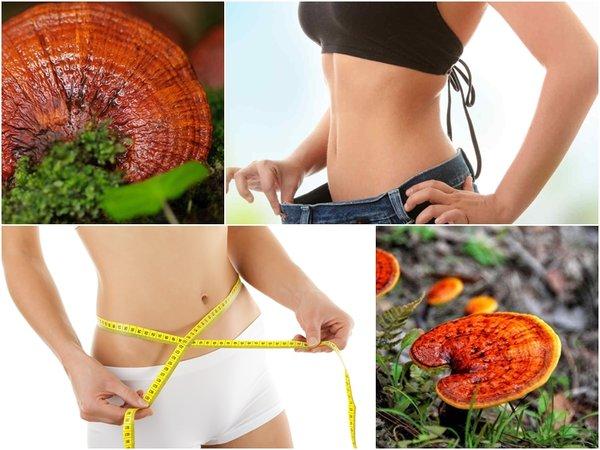 nấm linh chi có tác dụng hạn chế mỡ nội tạng, giảm cân hiệu quả