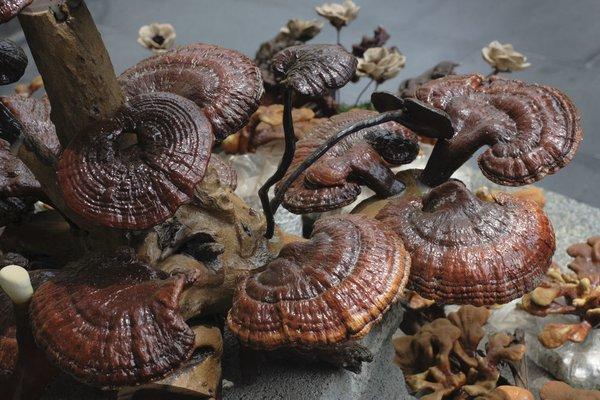 sử dụng nấm linh chi để tăng cường kháng thể, hạn chế oxy hóa