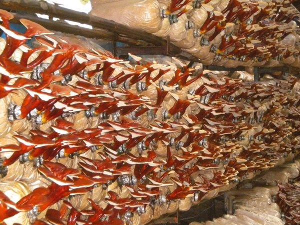sử dụng nấm linh chi đỏ kéo dài tuổi thọ 7-16 năm