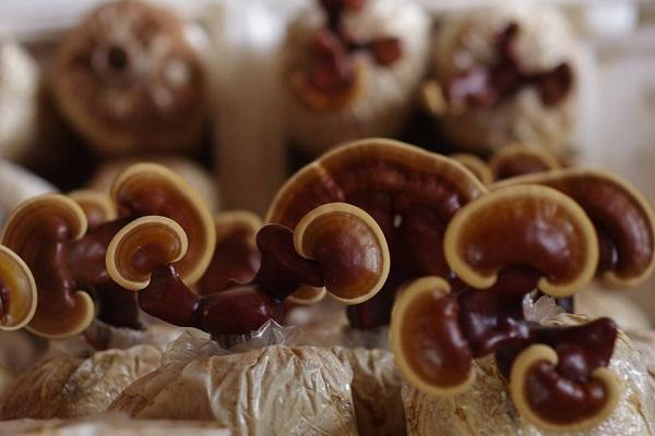 sử dụng nấm linh chi khoa học để cải thiện bệnh tiểu đường