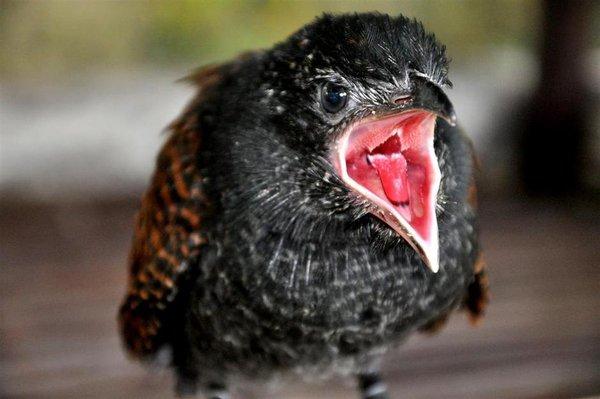 chim bìm bịp có thể ngâm rượu rất tốt