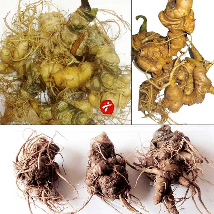 Sâm ngọc linh 10 củ/kg loại gieo trồng Quảng Nam NS341 1