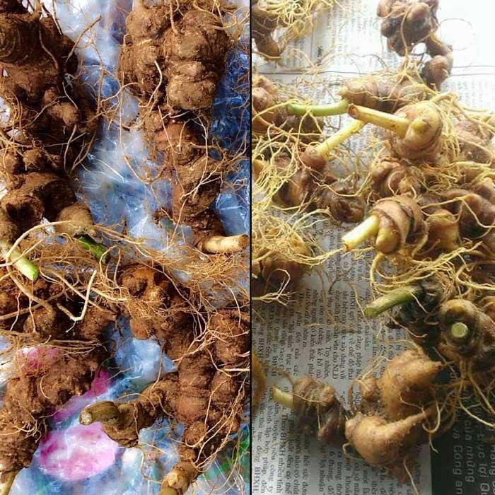 Sâm ngọc linh 10 củ/kg loại gieo trồng Quảng Nam NS341 2