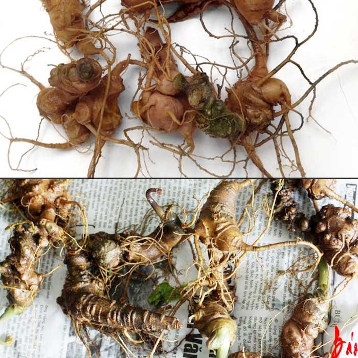 Sâm ngọc linh 10 củ/kg loại gieo trồng Quảng Nam NS341 3Sâm ngọc linh 10 củ/kg loại gieo trồng Quảng Nam NS341 3