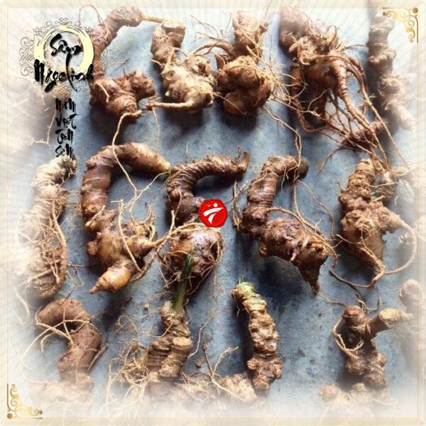 Sâm ngọc linh 10 củ/kg loại gieo trồng Quảng Nam NS341