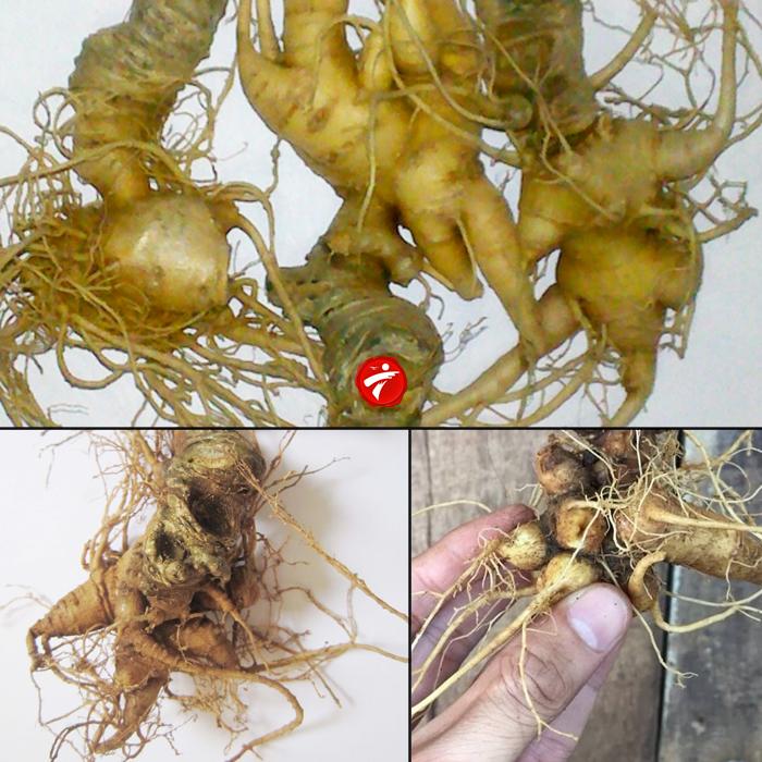 Sâm núi ngọc linh gieo trồng Quảng Nam loại 20 củ/kg NS342 1