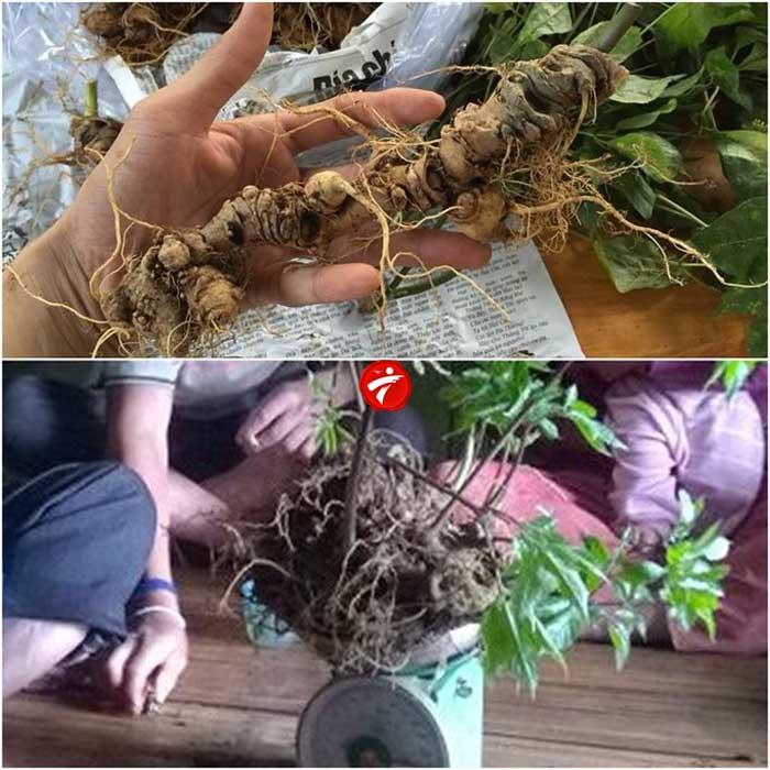 Sâm núi ngọc linh gieo trồng Quảng Nam loại 20 củ/kg NS342 2