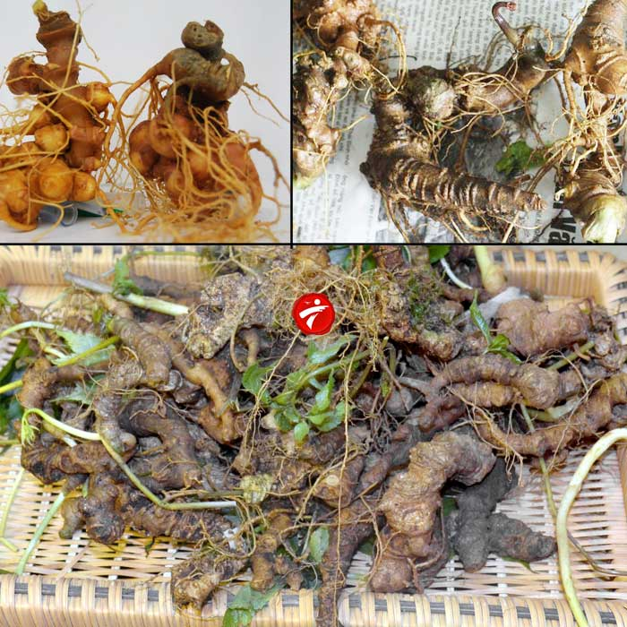 Sâm núi ngọc linh gieo trồng Quảng Nam loại 20 củ/kg NS342 3