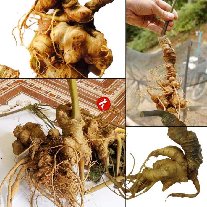Sâm ngọc linh trồng  loại chất lượng 2-5 củ/kg NS340 1