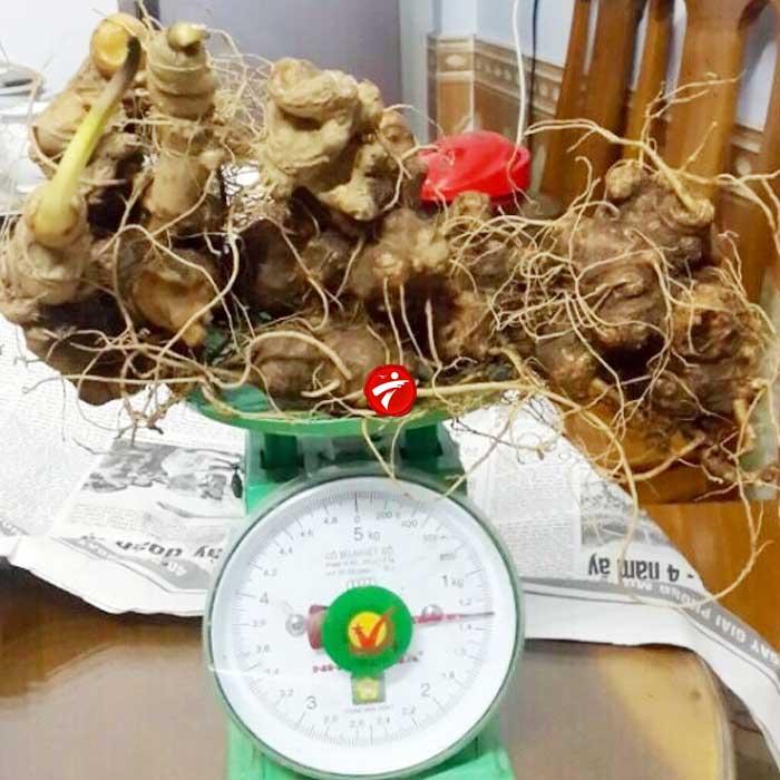 Sâm ngọc linh trồng  loại chất lượng 2-5 củ/kg NS340 2