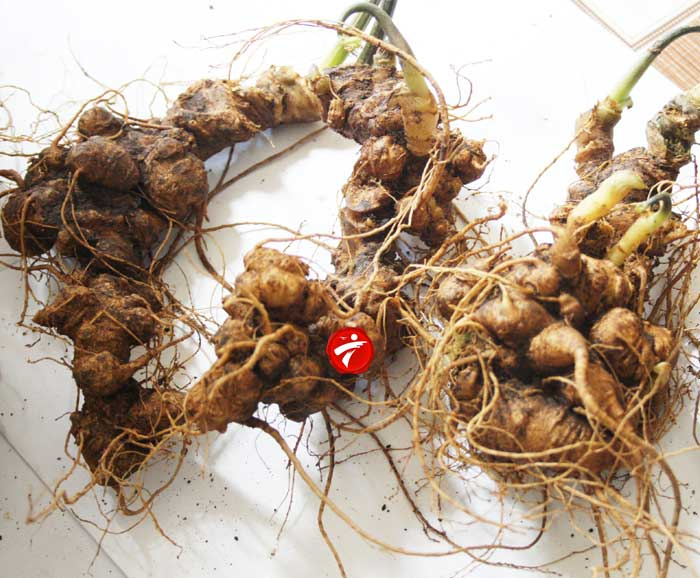 Sâm ngọc linh trồng  loại chất lượng 2-5 củ/kg NS340 3
