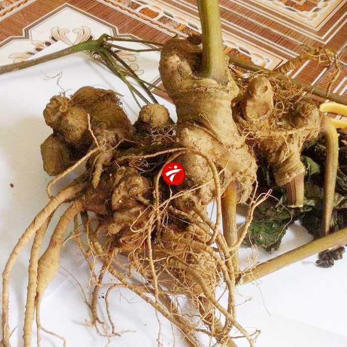 Sâm ngọc linh trồng  loại chất lượng 2-5 củ/kg NS340 5