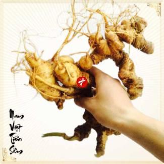Sâm ngọc linh trồng loại chất lượng 2-5 củ/kg NS340