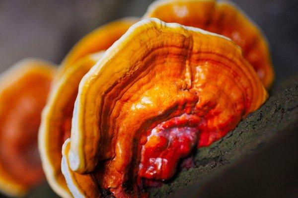 Nên chọn mua nấm linh chi đỏ Hàn Quốc tại các địa chỉ uy tín