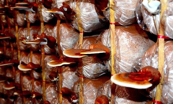 Mua các sản phẩm nấm linh chi đảm bảo chất lương