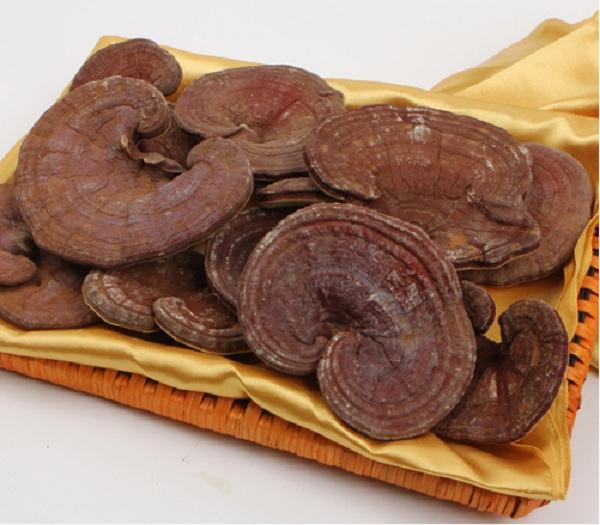 Nấm linh chi đỏ có thành phần dược tính cao