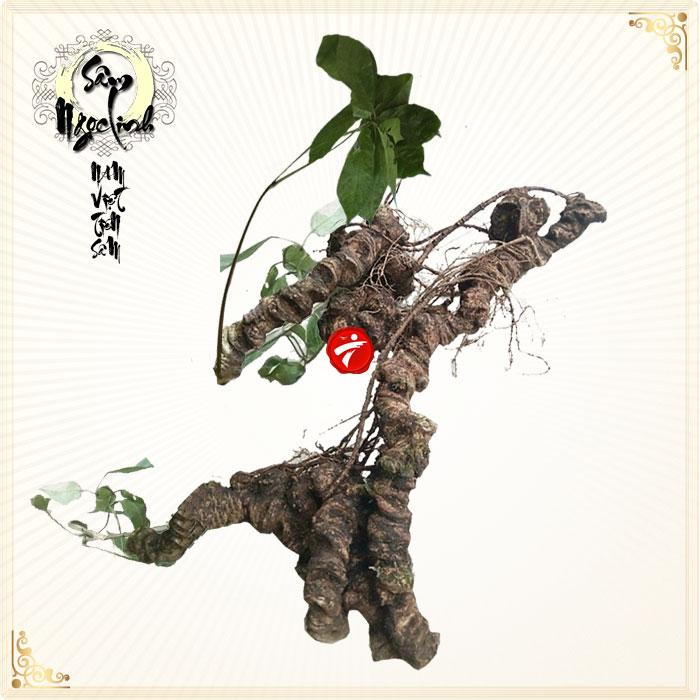 Sâm Ngọc Linh tự nhiên 100 năm tuổi gần 2,4kg/củ NS293
