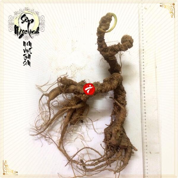 Sâm Ngọc Linh rừng tự nhiên 100 năm tuổi loại 1,8-2,5 kg/củ NS297