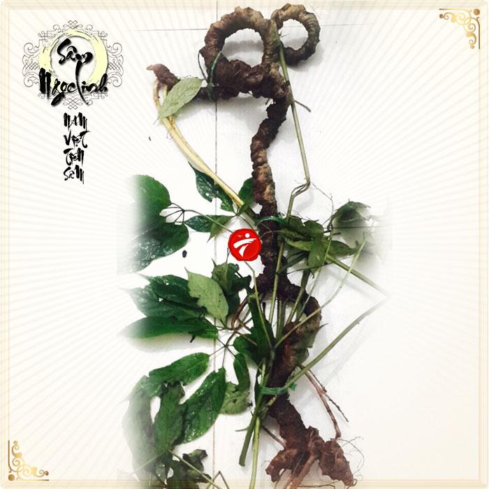 Sâm Ngọc Linh tự nhiên 85 năm tuổi nặng 8 lạng-9 lạng/củ NS295