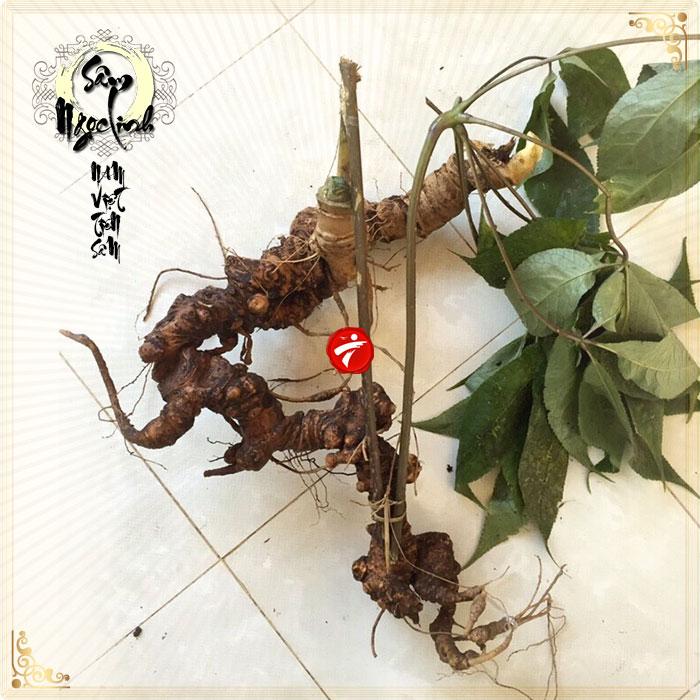 Sâm Ngọc Linh tự nhiên 90 năm tuổi 1 củ nặng khoảng 1,1-1,2kg NS296