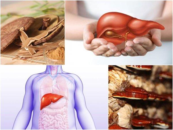 Nấm linh chi có tác dụng tốt đối với gan