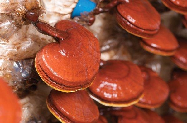 Nấm linh chi đỏ phổ biến trên thị trường