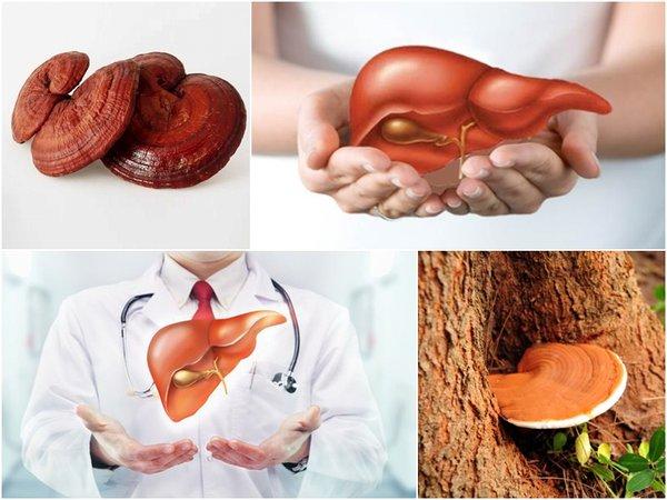 Nấm linh chi làm mát gan và hỗ trợ điều trị các bệnh về gan