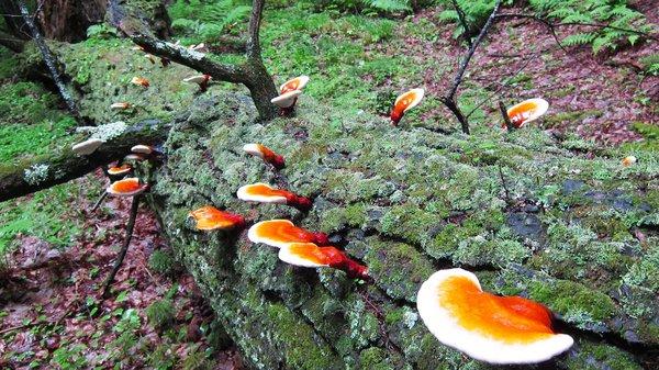 hướng dẫn cách đơn giản nhận biết nấm linh chi tự nhiên