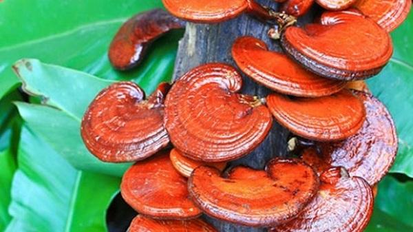 Linh chi Hàn Quốc được cấy trực tiếp lên trên thân gỗ
