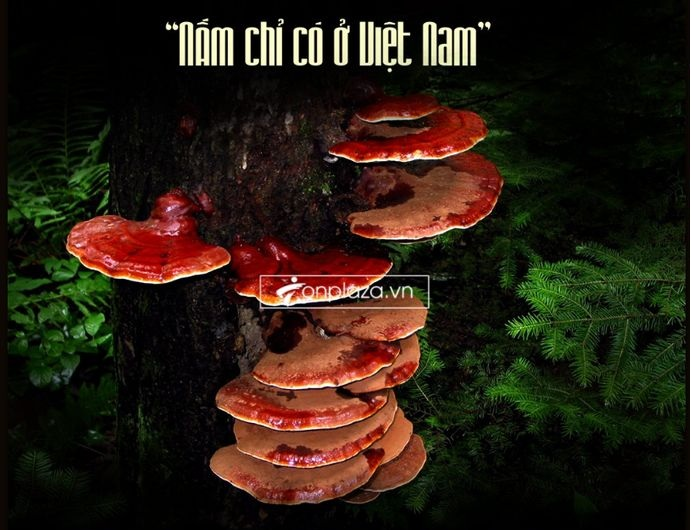 Nấm lim xanh chỉ sinh trưởng và phát triển trên vùng núi Tiên Phước - Việt Nam