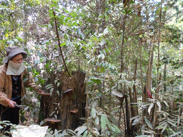 Nấm linh chi tự nhiên được người đi rừng khai thác khi bắt gặp