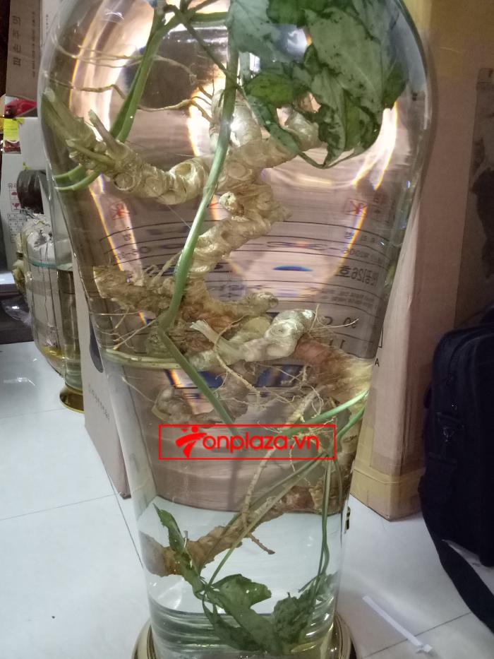 Bình ngâm sâm Ngọc Linh tươi 100 năm tuổi loại 1,5kg/củ 3