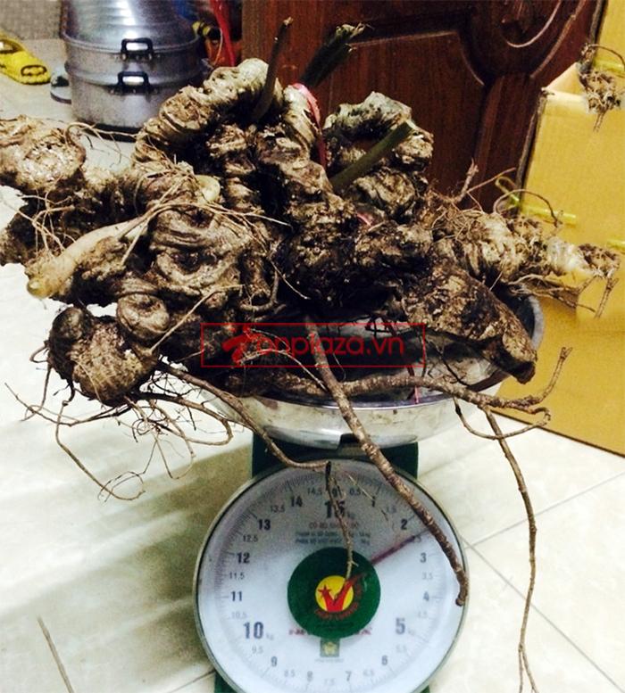 Bình sâm Ngọc Linh tươi 150 năm tuổi loại 2,4kg/củ 4