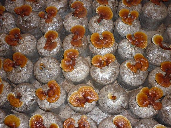 Lựa chọn sản phẩm nấm linh chi chất lượng