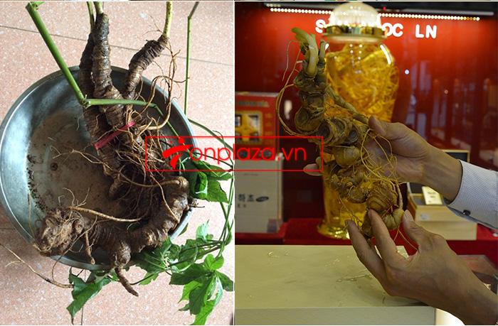 Bình ngâm sâm Ngọc Linh núi tươi loại 1,75 kg/củ 1